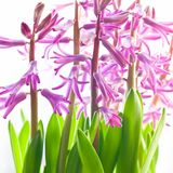 Very decorative mauve hyacinth Stock Images