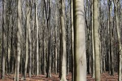 Very dense forest of beech trees / dicht bos van beuken. Tree trunks of beech trees in the forest in early spring while the sun is shining true the threes with Stock Image