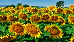 A very dense patch of happy sunflowers. In full bloom, this outstanding patch of yellow beauties evokes peace, love, happiness, and shouts out flower power Royalty Free Stock Photos