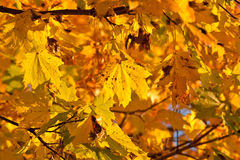 Dense yellow fall foliage Royalty Free Stock Photo
