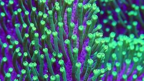 Green Toadstool Leather Coral Polyp Details stock video footage
