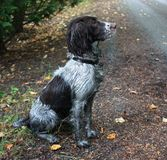 A very dirty working type english springer spaniel Stock Photo