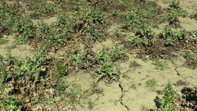 Plant milk thistle cardus marianus very drought dry field land with Silybum marianum drying up the soil cracked, climate. Very drought dry field land with plant stock video footage