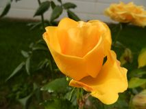 A very elegant rose with a beautiful fragrant yellow stock image