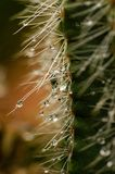 Very epic scene of fresh water drop on thorn of cactus. Beautiful light and color.this place is in East of Thailand Royalty Free Stock Photography