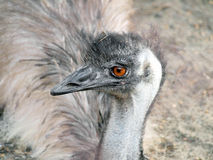 Very expressive emu portrait Stock Photos