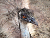 Very expressive emu portrait Royalty Free Stock Image
