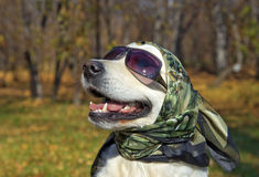 Very fashionable golden Retriever Royalty Free Stock Images