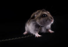 Very fierce hamster. On the black isolated background royalty free stock photography