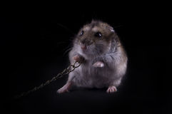 Very fierce hamster. On the black isolated background royalty free stock photos