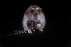 Very fierce hamster. On the black isolated background royalty free stock images