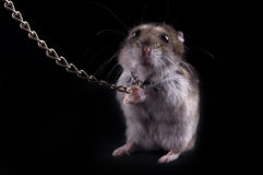 Very fierce hamster Royalty Free Stock Images
