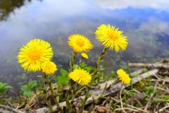 The very first spring flowers. The flowers bloom and emit a bright yellow glow. Shore of a mountain lake royalty free stock photography