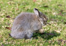 Very fluffy bunny rabbit in a field Stock Photo