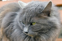 Very fluffy cat Royalty Free Stock Photo