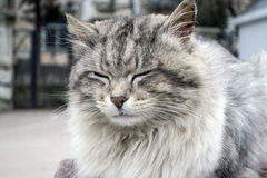 Very fluffy cat Royalty Free Stock Images