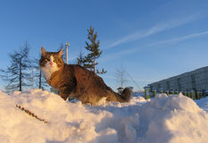 Very fluffy cat in the cold. Royalty Free Stock Image