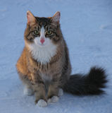Very fluffy cat in the cold. Stock Photos