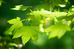 Sycamore at the sunlight Royalty Free Stock Photos