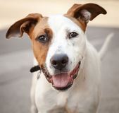 Very Friendly White and Red Mixed Breed Dog Stock Photography