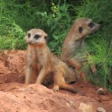 Very fun and funny meerkats on a walk in the zoo posing for photographers. Stock Images