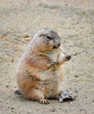 Very funny and angry Prairie dog eating food in natural background at the zoo. Prairie dogs or Cynomys. Very funny and angry Prairie dog eating food in natural royalty free stock photography