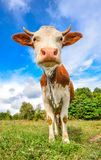 Very funny cow with big muzzle staring straight into camera close up. Farm animals. Funny cute red and white spotted cow on the field with bright green grass Royalty Free Stock Photography