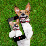 Very funny dog. Super funny face dog lying on back on green grass and laughing out loud taking a selfie stock image