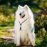 Very Funny Friendly Happy Lovely Pet White Samoyed Dog Outdoor i Stock Image