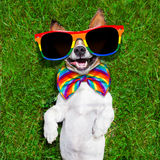 Very funny gay  dog. Super funny face gay dog lying on back on green grass and laughing out loud Stock Photos