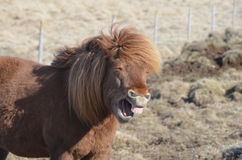 Very Funny Horse Face Royalty Free Stock Photography