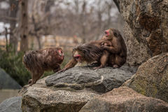 Very funny. Monkeys making love and smiling at zoo in Berlin Stock Image