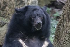 Closed-up Fluffy Asiatic Black Bear. Very Funny pose of he Black Bear on  the Green Yard Stock Images