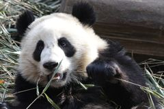 Closed-up Fluffy Giant Panda Cub, China. Very Funny pose of Giant Panda Cub when he is eating Bamboo Royalty Free Stock Photos