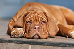 Very funny puppy Bordeaux Mastiff Stock Images