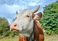 Very funny and surprised cow with big muzzle staring straight into sky. Cow close up. Farm animals. Stock Photography