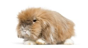 Very furry rabbit lying in front of white background. Isolated on white stock photos