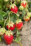 Very good harvest of strawberry. The most tasty and sweet berry Royalty Free Stock Images