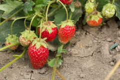 Very good harvest of strawberry. The most tasty and sweet berry Stock Photography