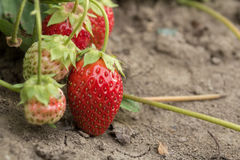 Very good harvest of strawberry. The most tasty and sweet berry Stock Photos
