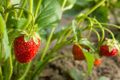 Very good harvest of strawberry. The most tasty and sweet berry Royalty Free Stock Image