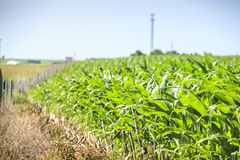 Very green corn field. Stock Image