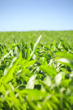 Very green corn field. Royalty Free Stock Photos