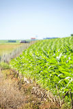Very green corn field. Royalty Free Stock Images