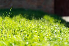Very green and fresh grass. Symbol of freshness and natural. Brightness and hue colour. Close-up view.  royalty free stock photos