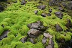 Very green moss on rocks 2. Nice green moss between the gray rocks Royalty Free Stock Image