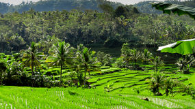 Very green rice fields Stock Images