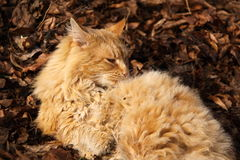 Very hairy cat laying in the foliage Stock Photo
