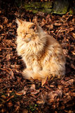 Very hairy large cat sitting in foliage Stock Photo