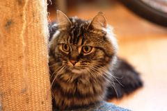 A Very handsome cute long haired brown kitten Stock Images